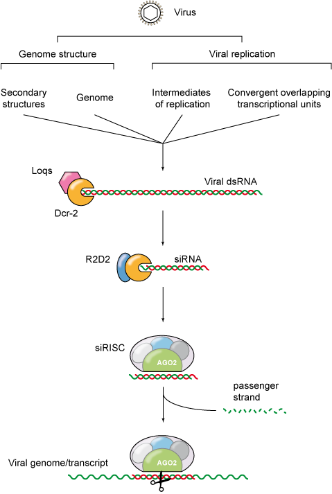 RNAi diagram