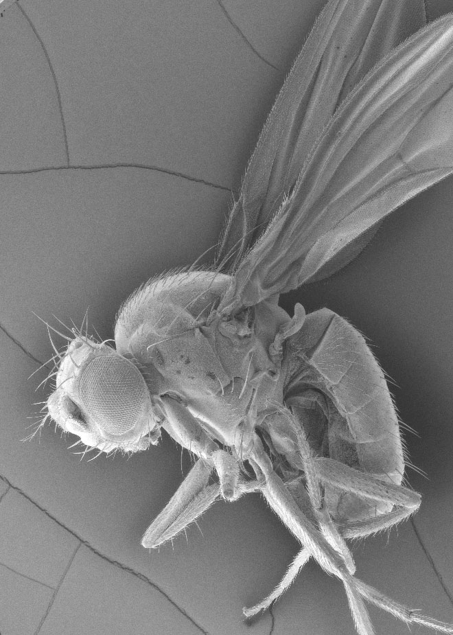 fruit fly under microscope